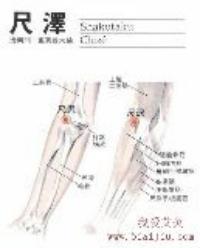 尺泽-解剖图
